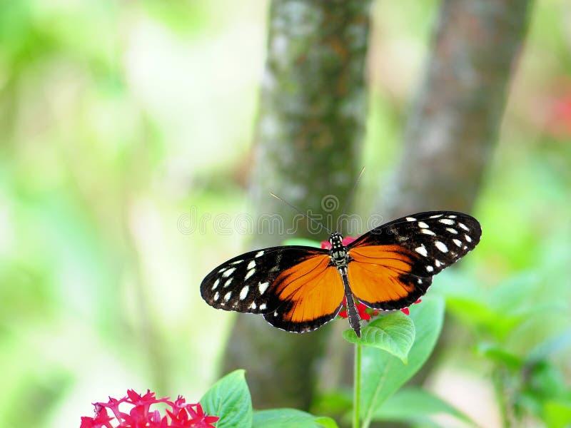 Borboleta de Longwing do tigre imagens de stock royalty free