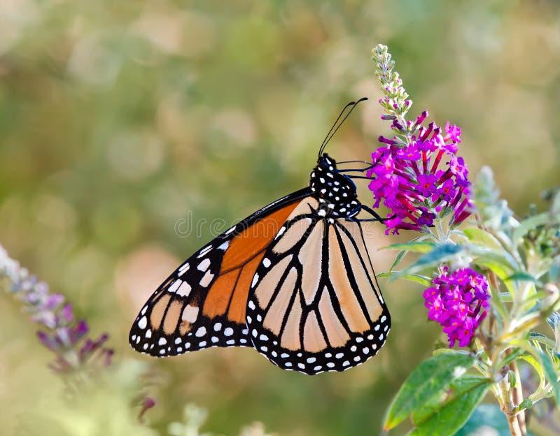 Borboleta de monarca foto de stock