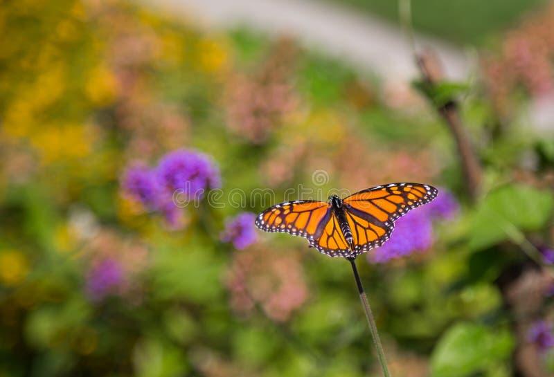 Borboleta de monarca fotos de stock