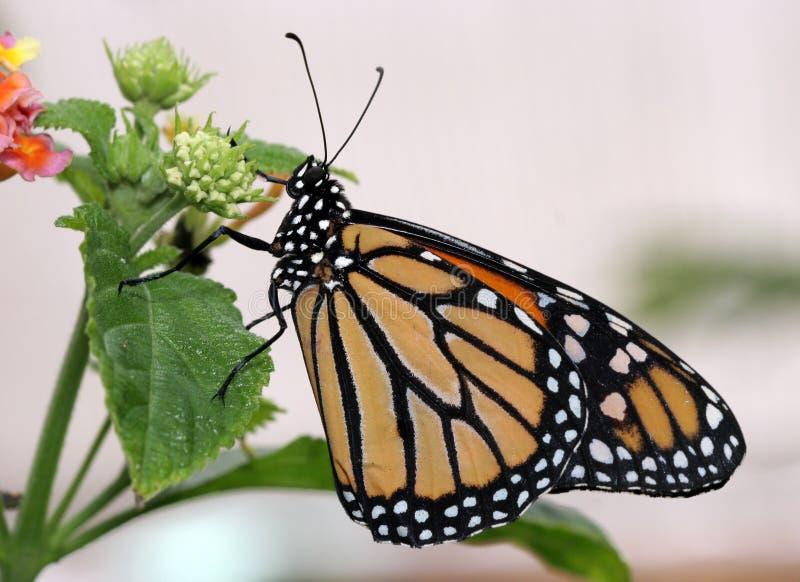 Download Borboleta de monarca imagem de stock. Imagem de wildlife - 526355