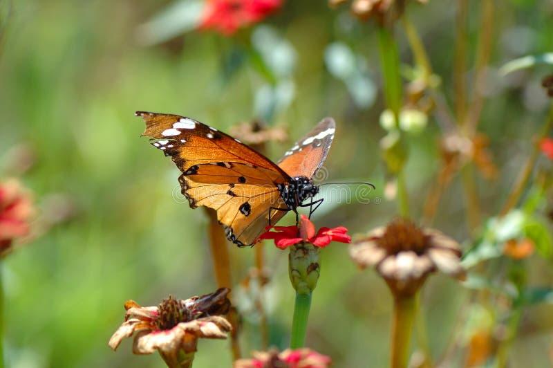 Borboleta de monarca africana fotografia de stock
