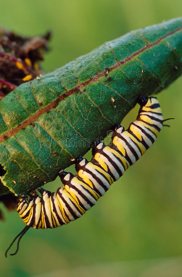 Borboleta de monarca Caterpillar foto de stock royalty free