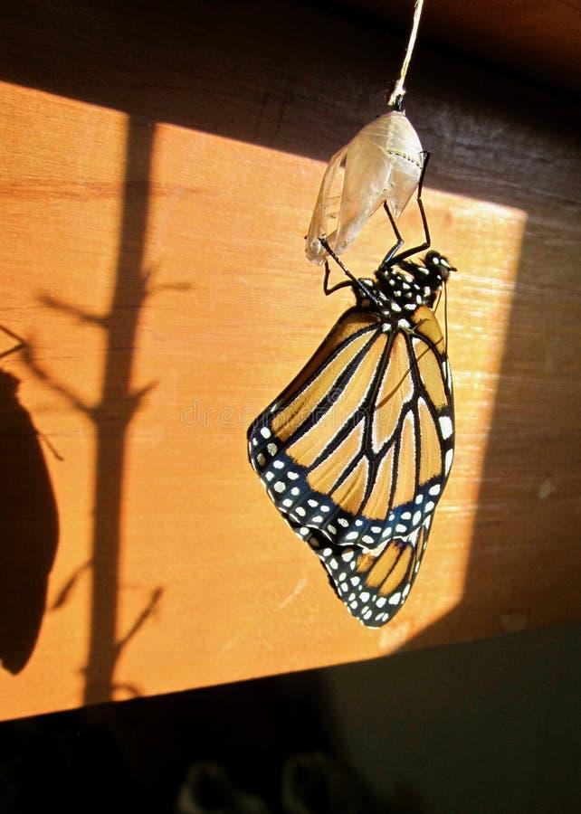 Borboleta de monarca chocada da crisálida foto de stock royalty free