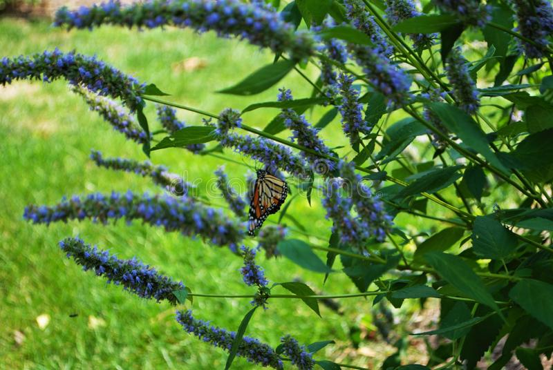 Borboleta de monarca com asa quebrada em uma flor azul do Veronica imagem de stock royalty free