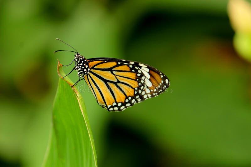 Borboleta de monarca com folha de Canna imagem de stock
