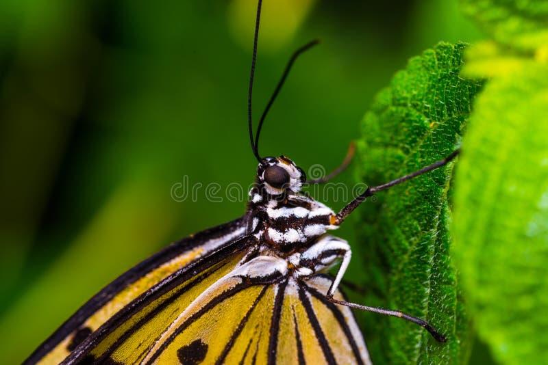 Borboleta de monarca com um fundo verde fotografia de stock
