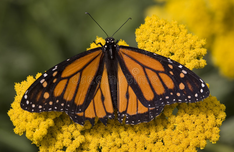 Borboleta de monarca em flores fotos de stock royalty free