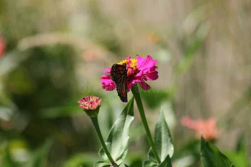 Borboleta de monarca em Forest Park 2019 IV fotografia de stock royalty free
