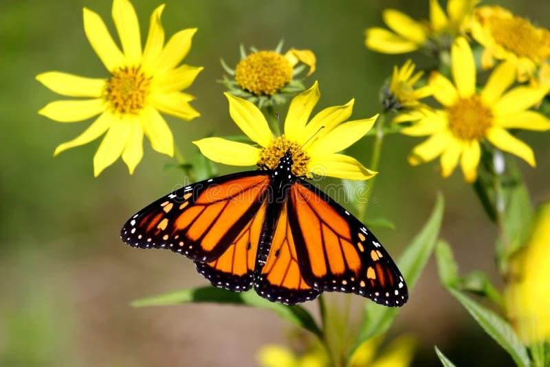 Borboleta de monarca em girassóis da floresta imagens de stock