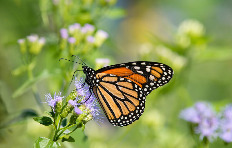 Borboleta de monarca em Greggs Mistflowers fotos de stock royalty free