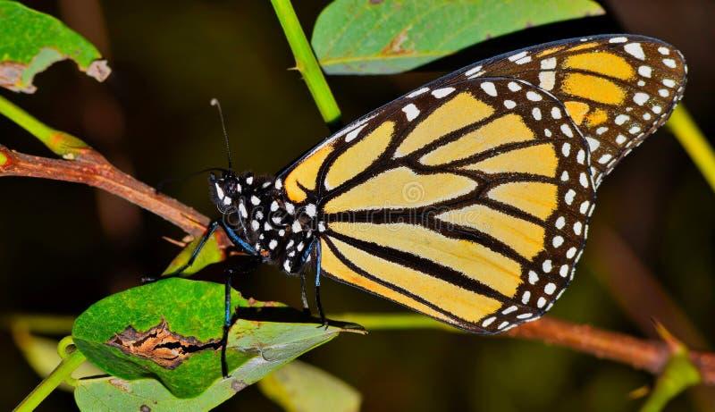 Borboleta de monarca em repouso em uma ?rvore fotos de stock royalty free