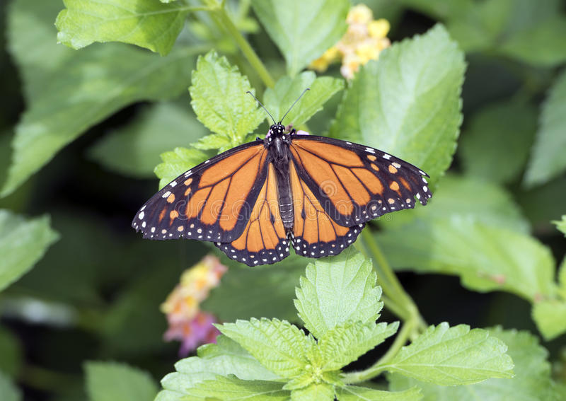 Borboleta de monarca em uma planta verde imagens de stock