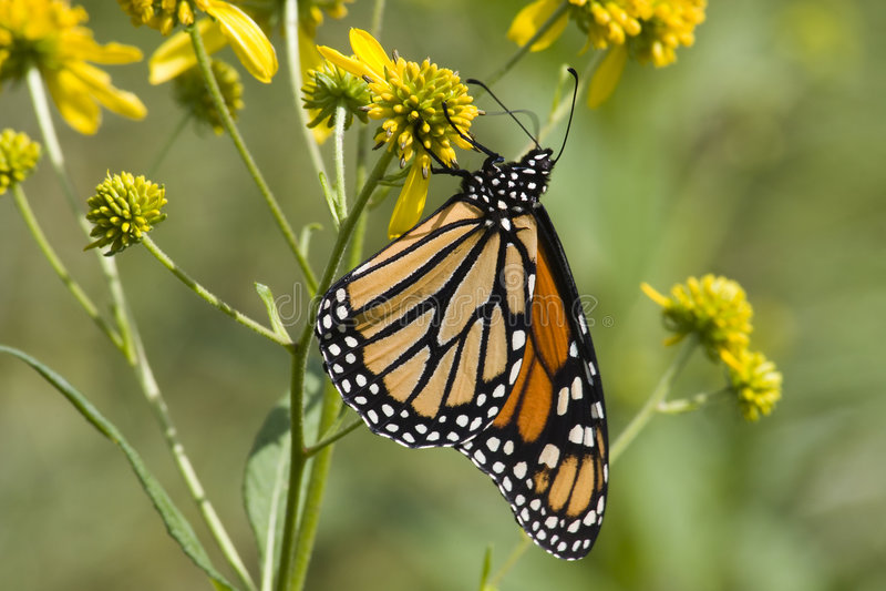 Borboleta de monarca em Wildflowers foto de stock royalty free