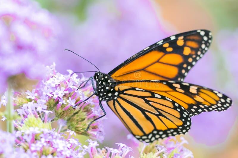 Borboleta de monarca, fim acima do tiro macro fotografia de stock
