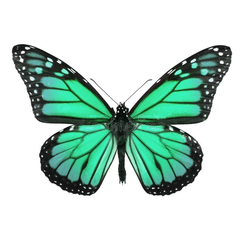 Borboleta de monarca isolada no branco fotografia de stock royalty free