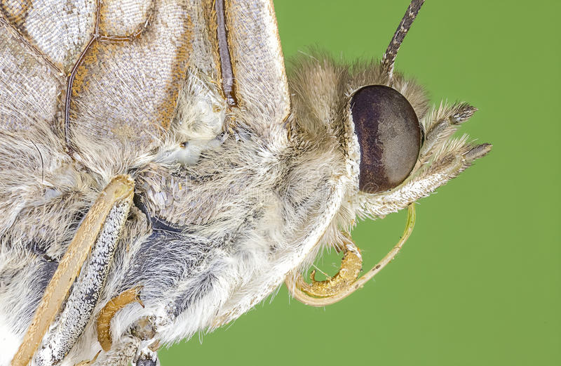 Borboleta de monarca macro extrema imagens de stock royalty free