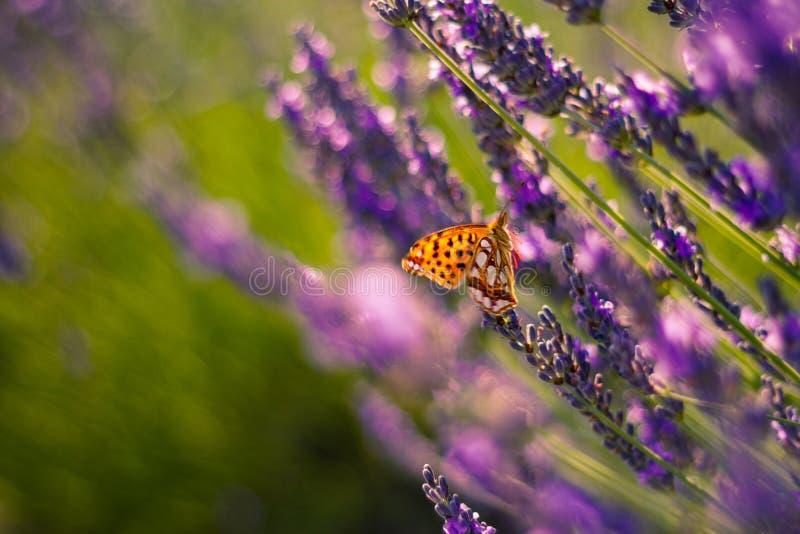 Borboleta de monarca na alfazema no jardim foto de stock