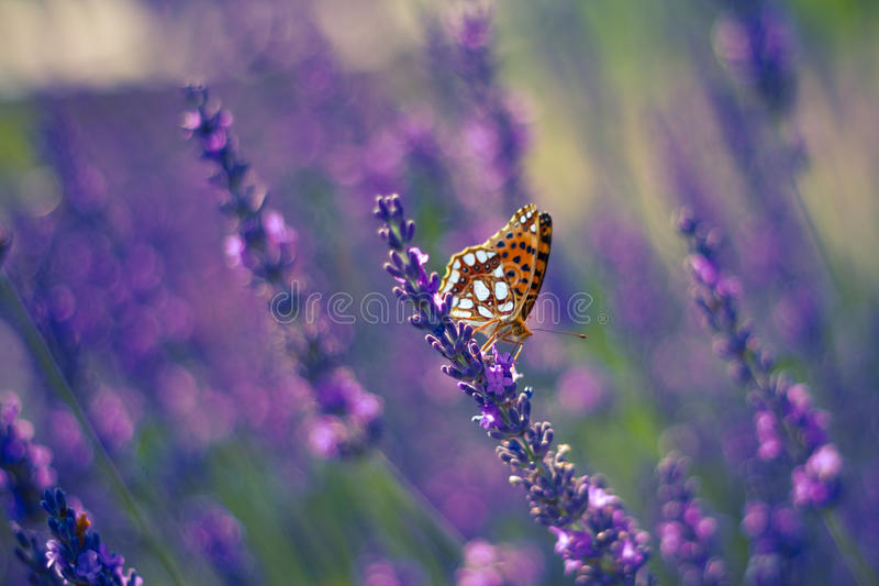 Borboleta de monarca na alfazema no jardim fotos de stock