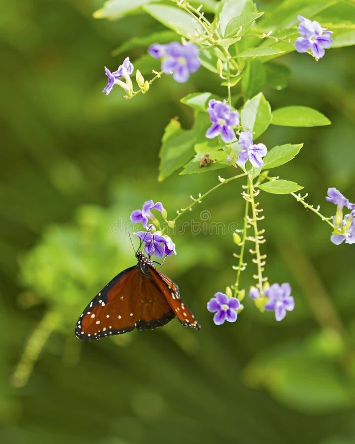 Borboleta de monarca na flor roxa foto de stock