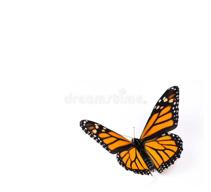 Borboleta de monarca no branco fotografia de stock royalty free