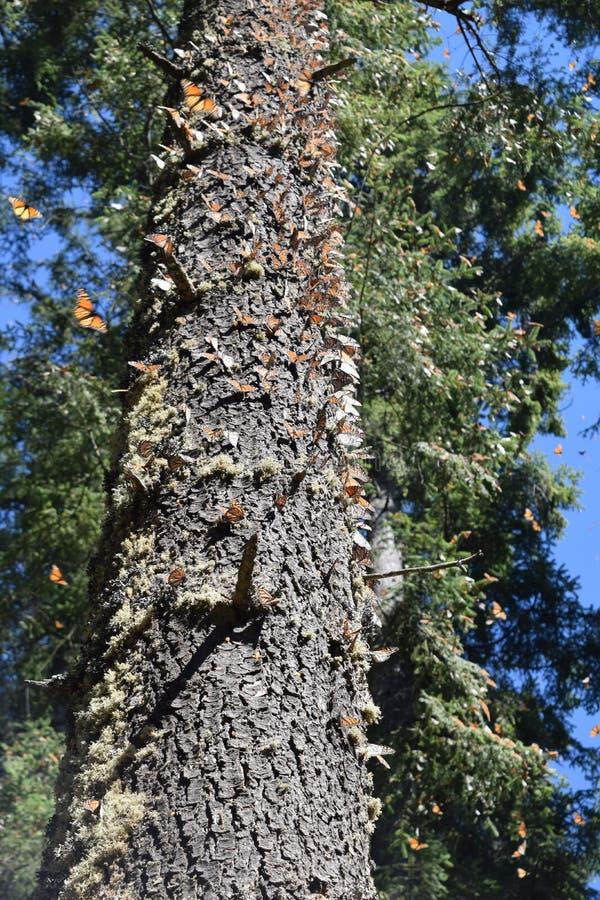 Borboleta de monarca no selvagem fotos de stock