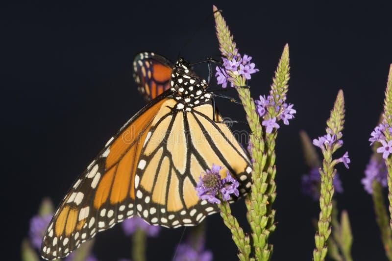 A borboleta de monarca no vervain azul floresce em New Hampshire fotografia de stock