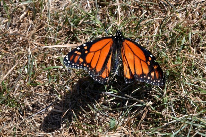 Borboleta de monarca - plexippus do Danaus foto de stock