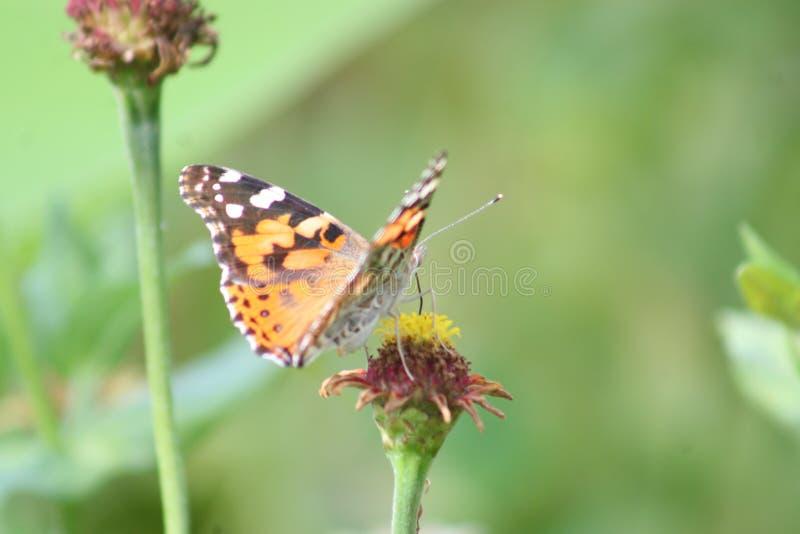 Borboleta de monarca que descansa 2019 II fotos de stock