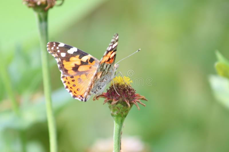 Borboleta de monarca que descansa 2019 mim foto de stock royalty free