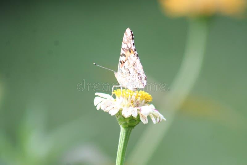 Borboleta de monarca que descansa 2019 foto de stock royalty free