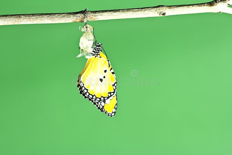 Borboleta de monarca que emerge foto de stock royalty free