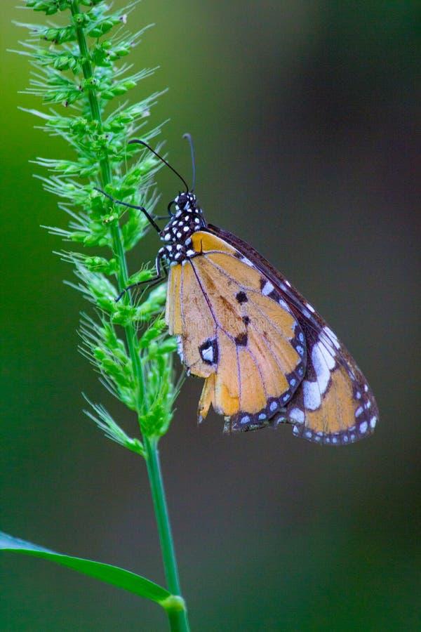 A borboleta de monarca que senta-se na folha foto de stock royalty free