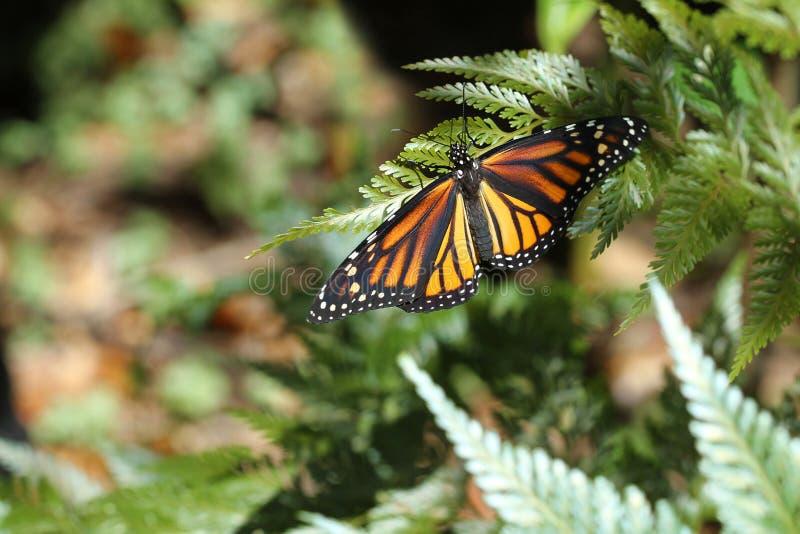 Borboleta de monarca recentemente chocada fotografia de stock