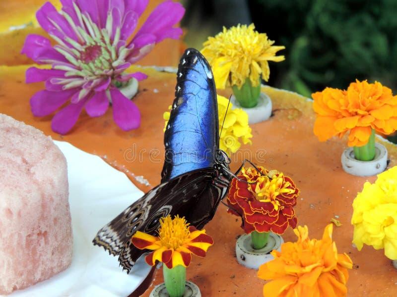 Borboleta de Morpho Peleides que alimenta no n?ctar da flor dentro do jardim da borboleta de Dubai fotografia de stock