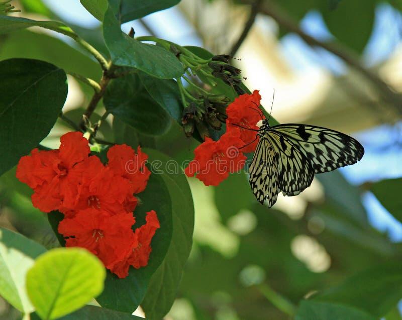 Borboleta de papel do papagaio em jardins de Callaway foto de stock royalty free
