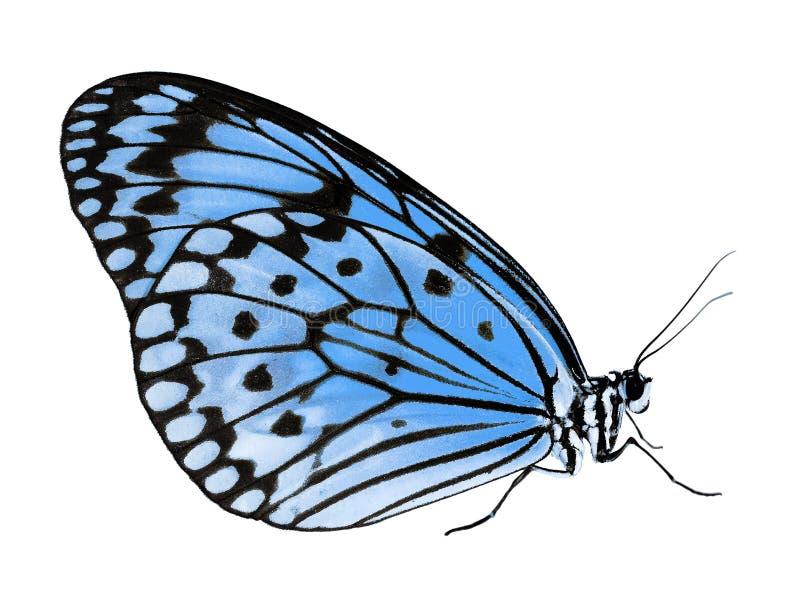 Borboleta de papel do papagaio isolada no fundo branco, mudança da cor ao azul foto de stock