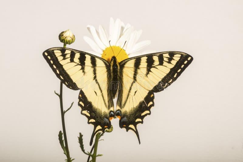 Borboleta de Papilio - em Daisy Flower fotografia de stock