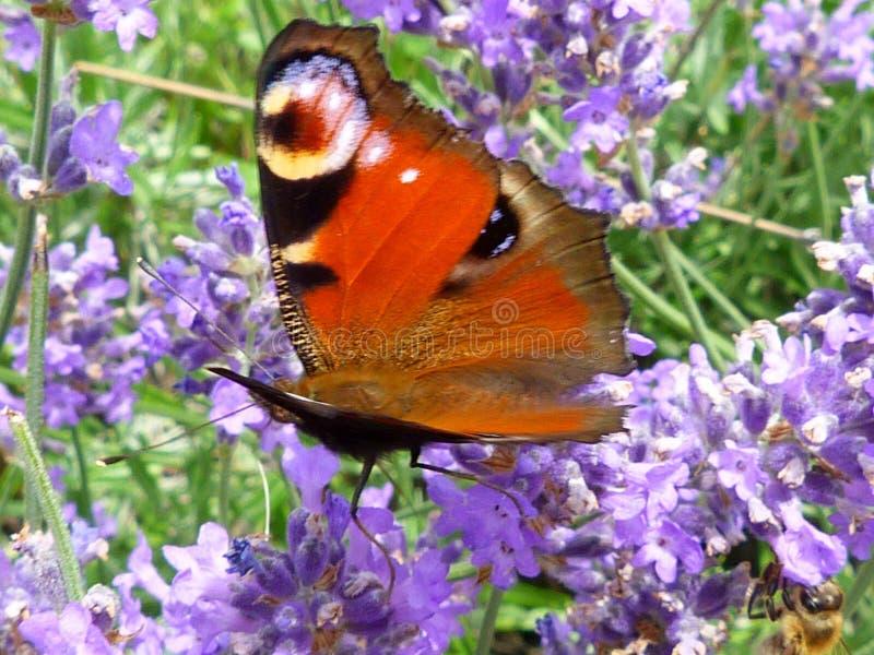 Borboleta de pavão marrom vermelha levemente focalizada que aterra levemente na flor da alfazema foto de stock