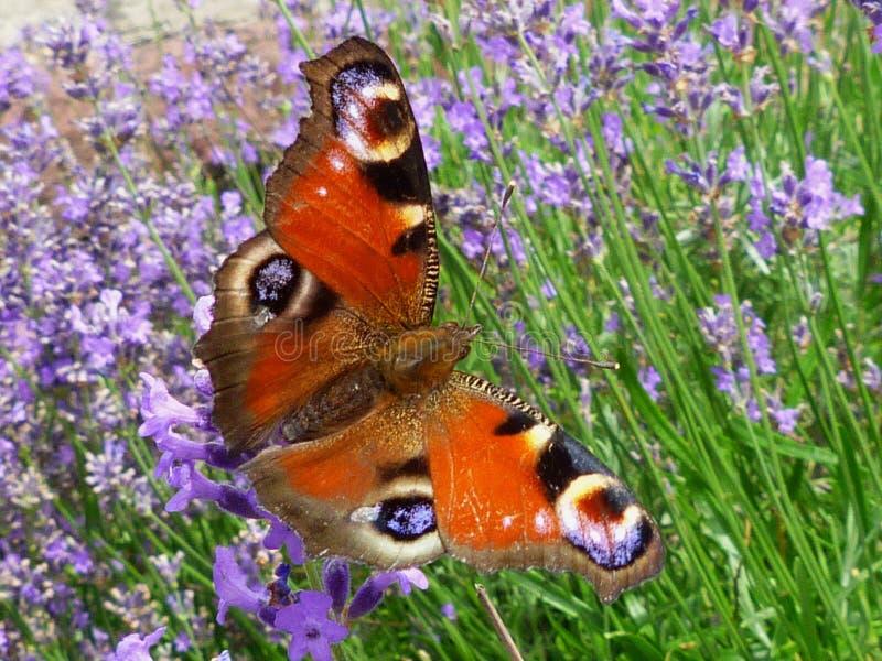 Borboleta de pavão marrom vermelha levemente focalizada que aterra levemente na flor da alfazema fotos de stock royalty free