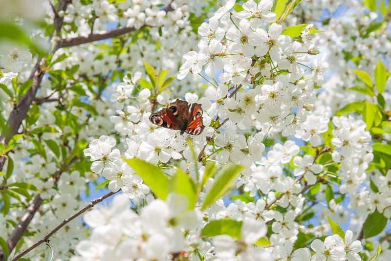 Borboleta de pavão na flor de cerejeira contra o céu azul Cher branco imagem de stock