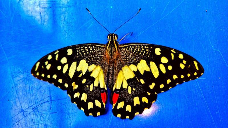 A borboleta de Sri Lanka imagem de stock