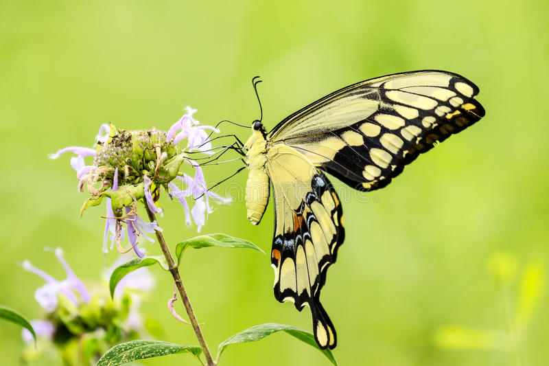 Borboleta de Swallowtail do tigre imagens de stock royalty free