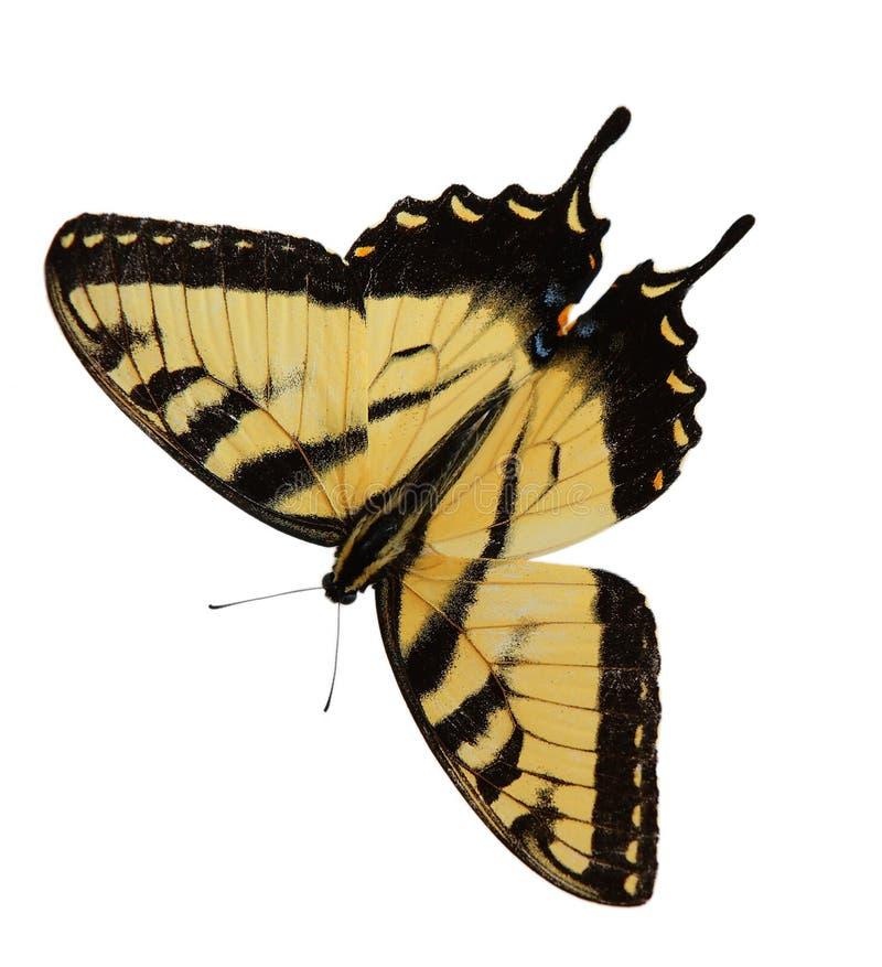 Borboleta de Swallowtail do tigre de Easter fotografia de stock royalty free