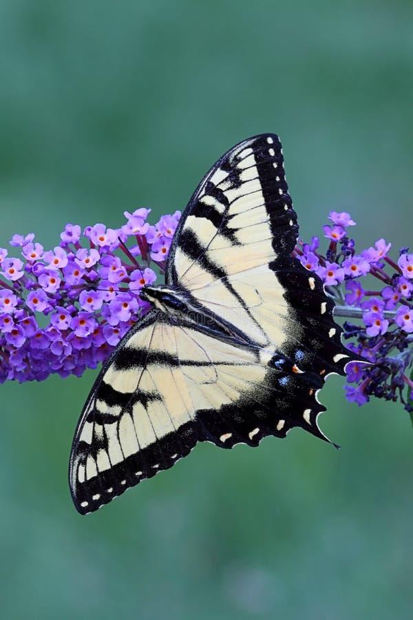 Borboleta de Swallowtail do tigre (glaucas do papilio) fotografia de stock royalty free