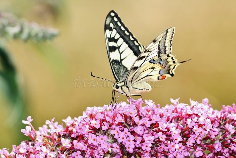 Borboleta de Swallowtail que procura para Nectar On uma flor do Buddleia fotografia de stock