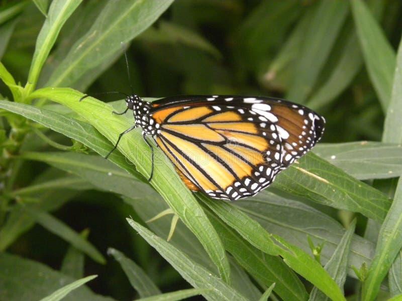 Borboleta do andarilho do monarca imagens de stock