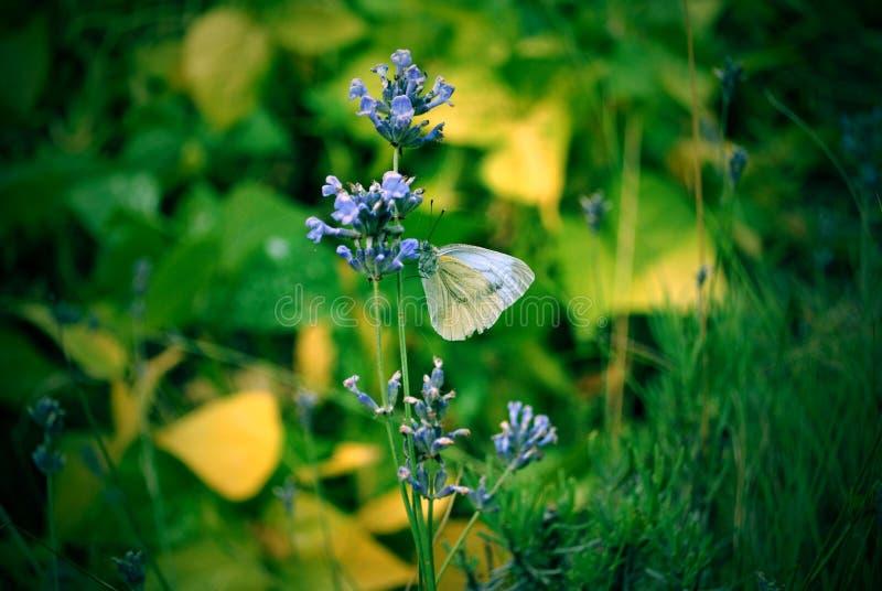 Borboleta do branco de jardim em uma flor foto de stock
