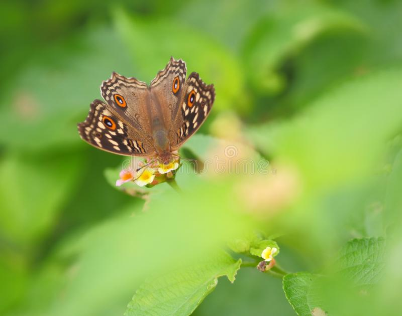 borboleta do buckeye no fundo verde imagem de stock