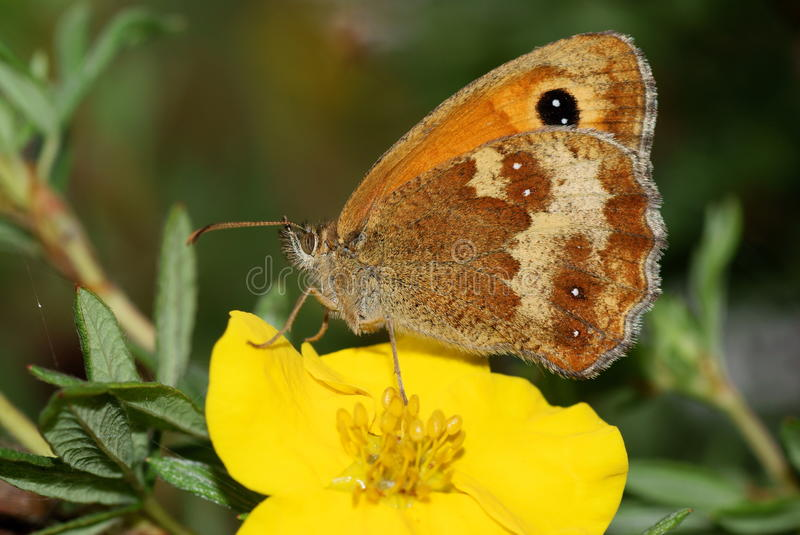 Borboleta do GateKeeper, tithonus de Pyronia imagem de stock royalty free