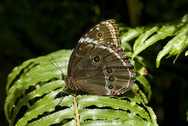 Download Borboleta Do Leilia Da Imperatriz Foto de Stock - Imagem de olhos, borboleta: 12807434